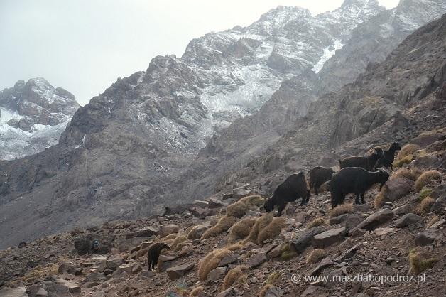 Góry Atlas i kozy.